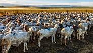 意大利奢华羊绒品牌Loro Piana将在内蒙古开设养殖场